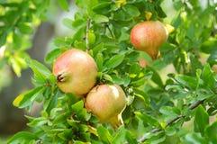 Melograni sull'albero Fotografia Stock