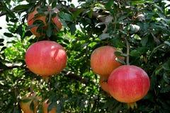 Melograni sull'albero nel frutteto Fotografia Stock