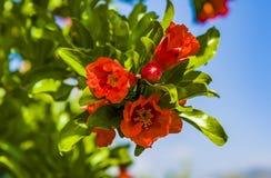 Melograno in fiore in botanica Fotografia Stock Libera da Diritti