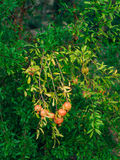 Melograno maturo rosso sull'albero Alberi di melograno in Montenegr Fotografia Stock