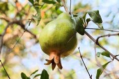 Melograno organico Fotografia Stock