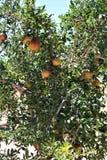 Melograno, punica granatum, frutta che sopporta arbusto deciduo o piccolo albero situato nell'insenatura della regina, Arizona, S fotografie stock libere da diritti