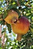 Melograno, punica granatum, frutta che sopporta arbusto deciduo o piccolo albero situato nell'insenatura della regina, Arizona, S immagini stock libere da diritti