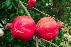 Melograno rosso, un antiossidante eccellente e nutriente per eccellenza immagine stock