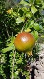 Melograno sull& x27; albero - granatäpple Royaltyfri Fotografi