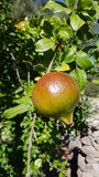 Melograno-sull& x27; albero - Granatapfel Lizenzfreie Stockfotografie