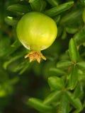 Melograno verde che cresce sull'albero Immagine Stock