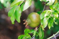 Melograno verde selvaggio non maturo su un albero un giorno soleggiato Immagini Stock