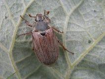 Melolontha en la hoja verde Foto de archivo