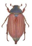 Melolontha melolontha chrząszcz obraz stock
