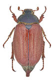 Melolontha melolontha cockchafer Stock Image
