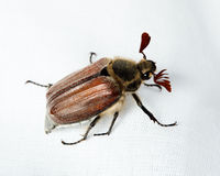 Melolontha melolontha, Cockchafer, may bug Royalty Free Stock Photography