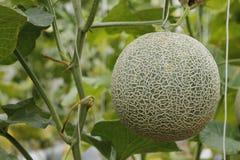 Melonów pieprze w szklarni Zdjęcia Royalty Free