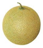 Melon. Detailed illustration of melon fruit Stock Image