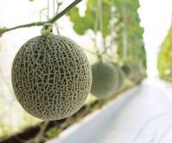 melon Imagem de Stock
