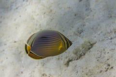 Melon butterflyfish (Chaetodon trifasciatus) Royalty Free Stock Image