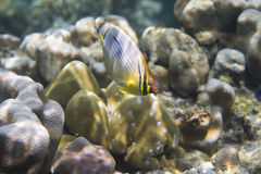 Melon butterflyfish (Chaetodon trifasciatus) Royalty Free Stock Photos