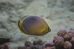 Melon butterflyfish (Chaetodon trifasciatus) Royalty Free Stock Photography