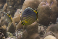 Melon butterflyfish (Chaetodon trifasciatus) Stock Photo
