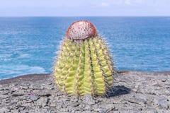 Melon cactus Stock Images