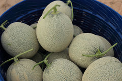 Melon or Cantaloupe fruit new harvest plucked from the garden Royalty Free Stock Photography