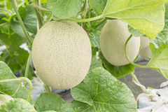 Melon or Cantaloupe fruit in plant nursery. Royalty Free Stock Photos