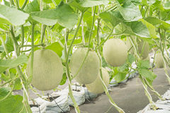 Melon or Cantaloupe fruit in plant nursery. Royalty Free Stock Photo