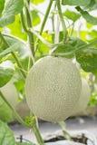 Melon or Cantaloupe fruit in plant nursery. Stock Photography