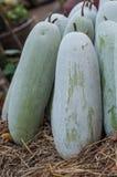 Melon d'hiver (hispida de Benincasa) Image libre de droits