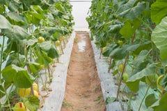 Melon dans des cultures de plantation Image libre de droits