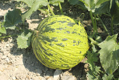 Melon dans le jardin Photo stock