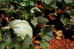Melon dans un domaine de ferme Image libre de droits