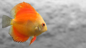 Melon Discus Fish Stock Images