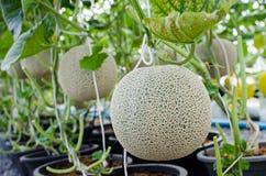 Melon- eller cantaloupmelonfrukt på träd Arkivbilder