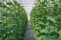 Melon en serre chaude Photos stock
