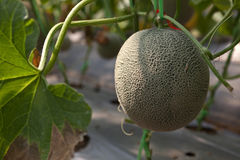 Melon From Farm Royalty Free Stock Photos