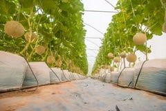 Melon farm Royalty Free Stock Images