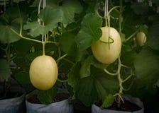 Melon farm, Melon fruit in greenhouse. Melon farm, Melon fruit grow up in greenhouse Royalty Free Stock Photos