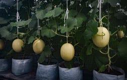 Melon farm, Melon fruit in greenhouse. Melon farm, Melon fruit grow up in greenhouse Royalty Free Stock Photography