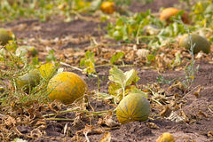Melon field Royalty Free Stock Photo