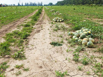 Melon field with heaps of ripe watermelons Stock Image