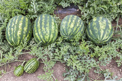 Melon field with heaps of ripe watermelons in summer Stock Images