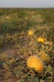 Melon on field. Ripe melon on field at sunset Royalty Free Stock Photos