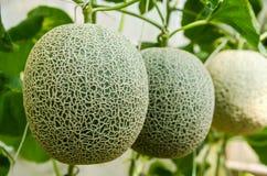 Melon frais de ferme Images libres de droits