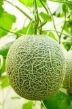 Melon frais de ferme Image libre de droits