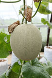 Melon fruit Royalty Free Stock Photography