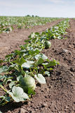Melon fruit growing Royalty Free Stock Photo