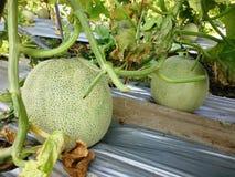 Melon fruit plantation Royalty Free Stock Photos