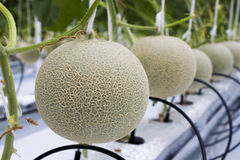 Melon fruit. Melon tree, not lemon tree. That was waiting to harvested. Them growth in hydroponic farm Stock Images