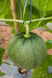 Melon in fruiting stage Stock Images